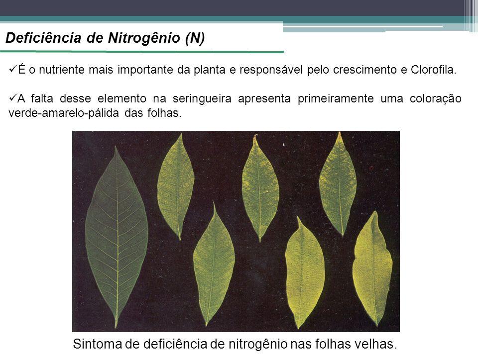 Deficiência de Nitrogênio (N) É o nutriente mais importante da planta e responsável pelo crescimento e Clorofila. A falta desse elemento na seringueir