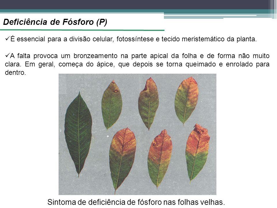 Deficiência de Fósforo (P) É essencial para a divisão celular, fotossíntese e tecido meristemático da planta. A falta provoca um bronzeamento na parte