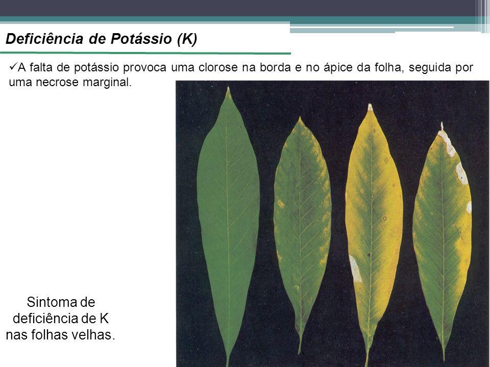Deficiência de Potássio (K) A falta de potássio provoca uma clorose na borda e no ápice da folha, seguida por uma necrose marginal. Sintoma de deficiê