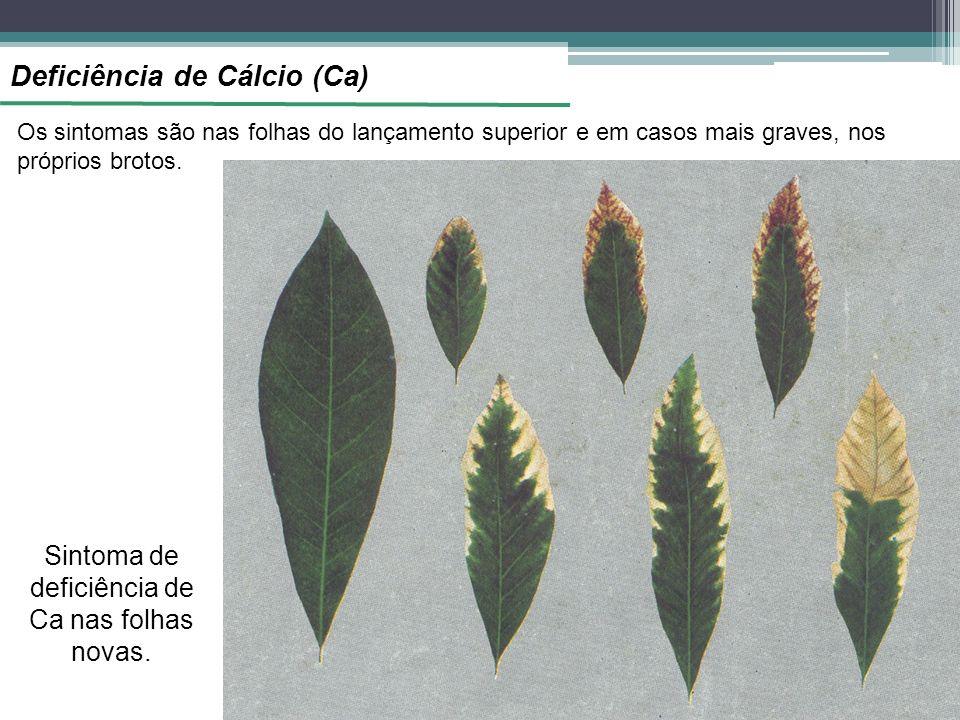 Deficiência de Cálcio (Ca) Os sintomas são nas folhas do lançamento superior e em casos mais graves, nos próprios brotos. Sintoma de deficiência de Ca