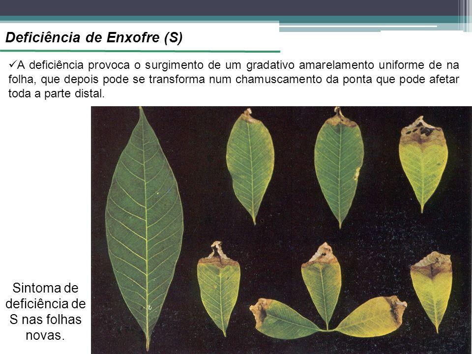 Deficiência de Enxofre (S) A deficiência provoca o surgimento de um gradativo amarelamento uniforme de na folha, que depois pode se transforma num chamuscamento da ponta que pode afetar toda a parte distal.