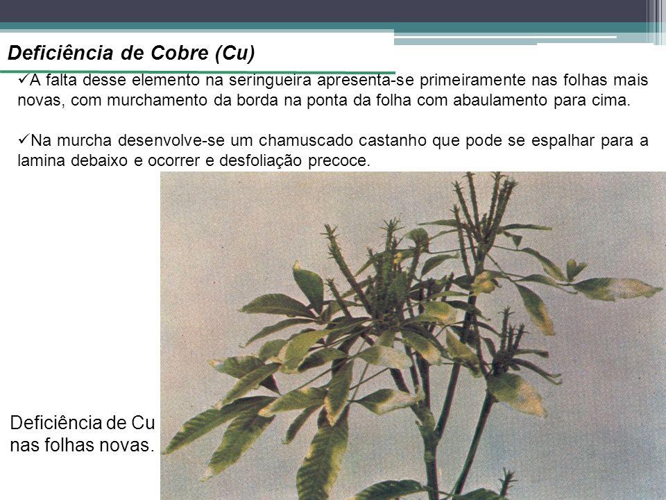 Deficiência de Cobre (Cu) A falta desse elemento na seringueira apresenta-se primeiramente nas folhas mais novas, com murchamento da borda na ponta da folha com abaulamento para cima.