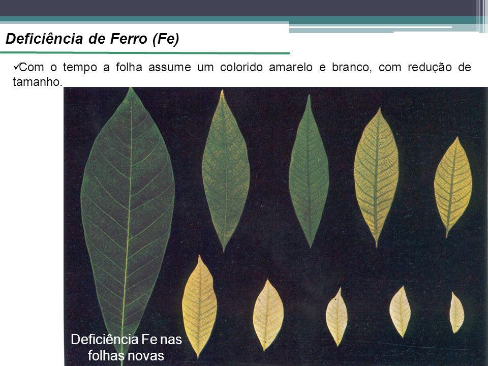 Deficiência de Ferro (Fe) Com o tempo a folha assume um colorido amarelo e branco, com redução de tamanho. Deficiência Fe nas folhas novas