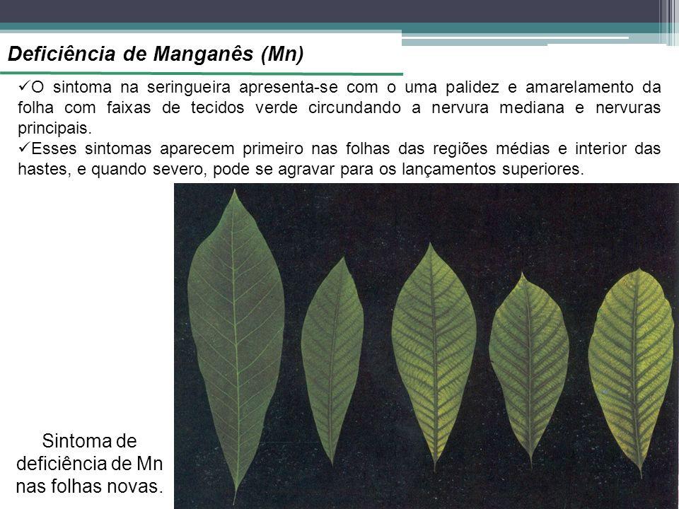 Deficiência de Manganês (Mn) O sintoma na seringueira apresenta-se com o uma palidez e amarelamento da folha com faixas de tecidos verde circundando a nervura mediana e nervuras principais.