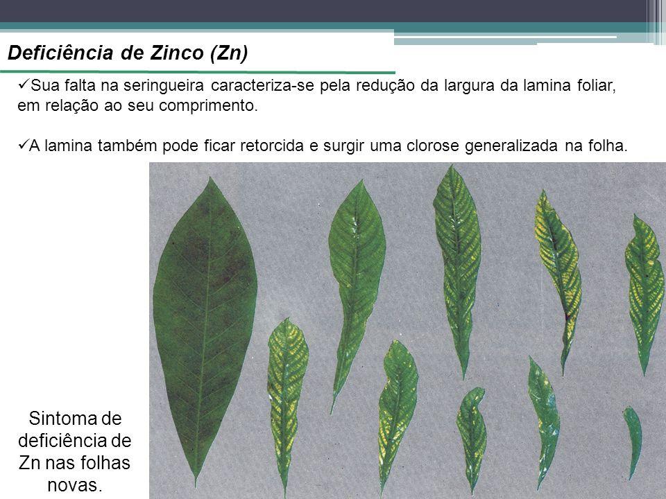Deficiência de Zinco (Zn) Sintoma de deficiência de Zn nas folhas novas. Sua falta na seringueira caracteriza-se pela redução da largura da lamina fol