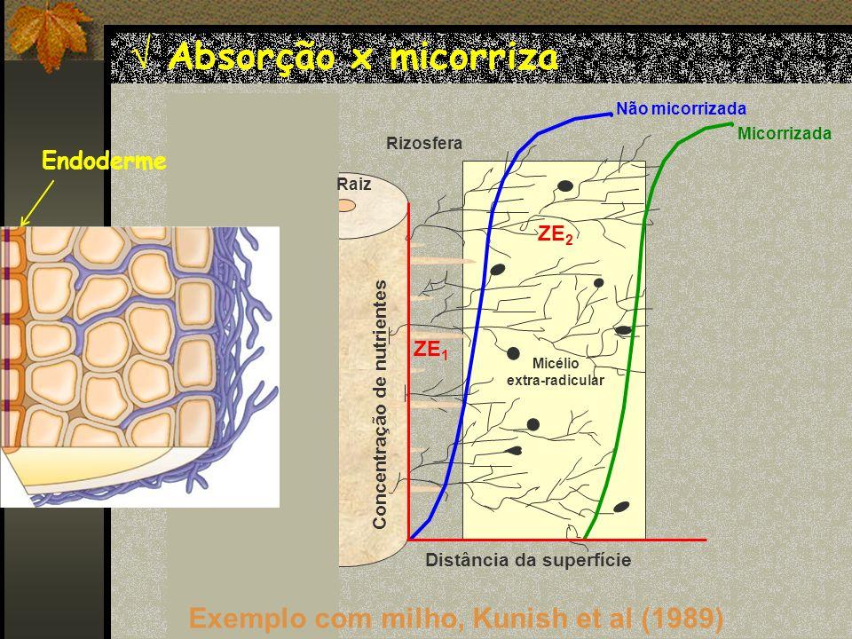Absorção x micorriza Exemplo com milho, Kunish et al (1989) Endoderme