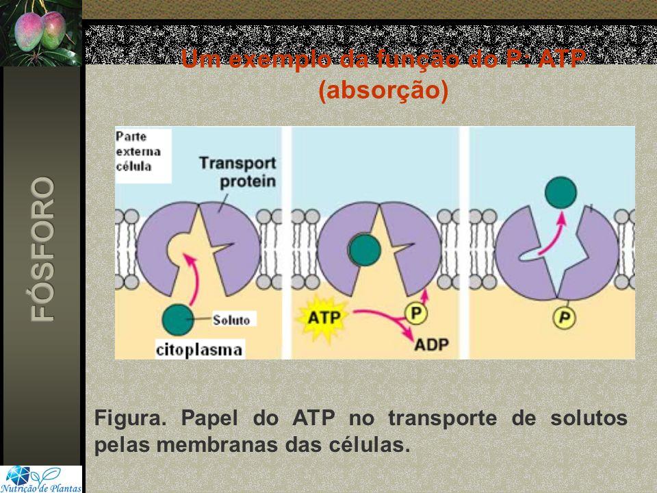 Figura. Papel do ATP no transporte de solutos pelas membranas das células. Um exemplo da função do P: ATP (absorção)