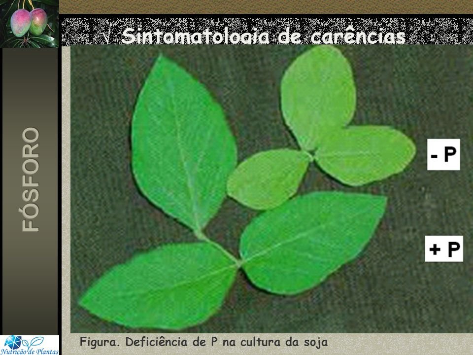 Sintomatologia de carências Figura. Deficiência de P na cultura da soja