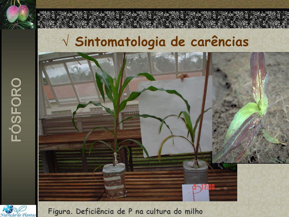 Sintomatologia de carências Figura. Deficiência de P na cultura do milho