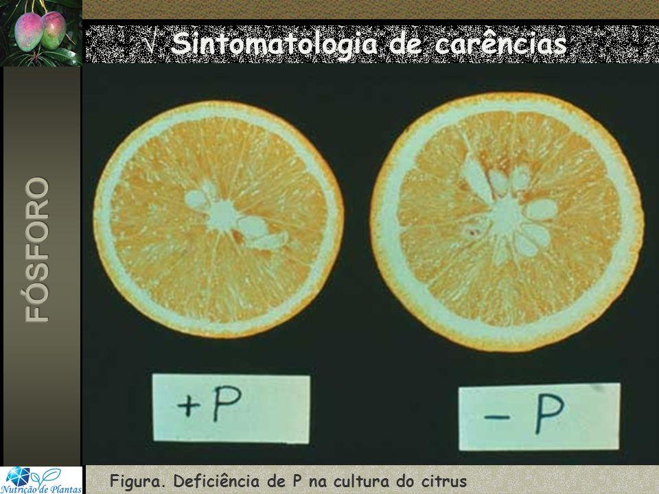 Sintomatologia de carências Figura. Deficiência de P na cultura do citrus