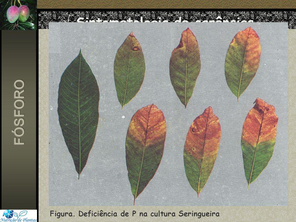 Figura. Deficiência de P na cultura Seringueira