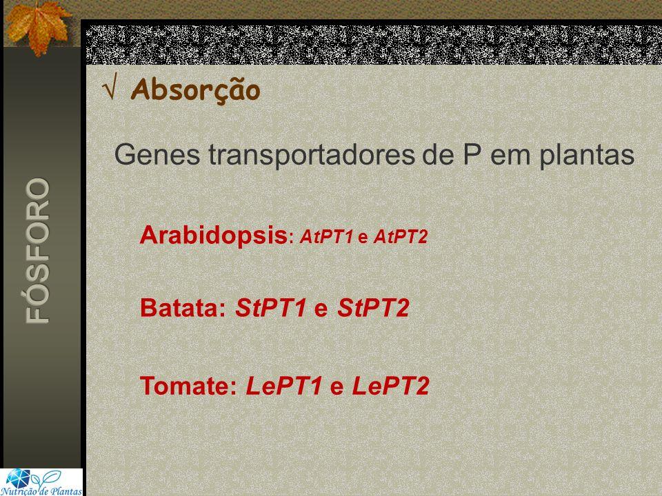 Absorção Genes transportadores de P em plantas Arabidopsis : AtPT1 e AtPT2 Batata: StPT1 e StPT2 Tomate: LePT1 e LePT2
