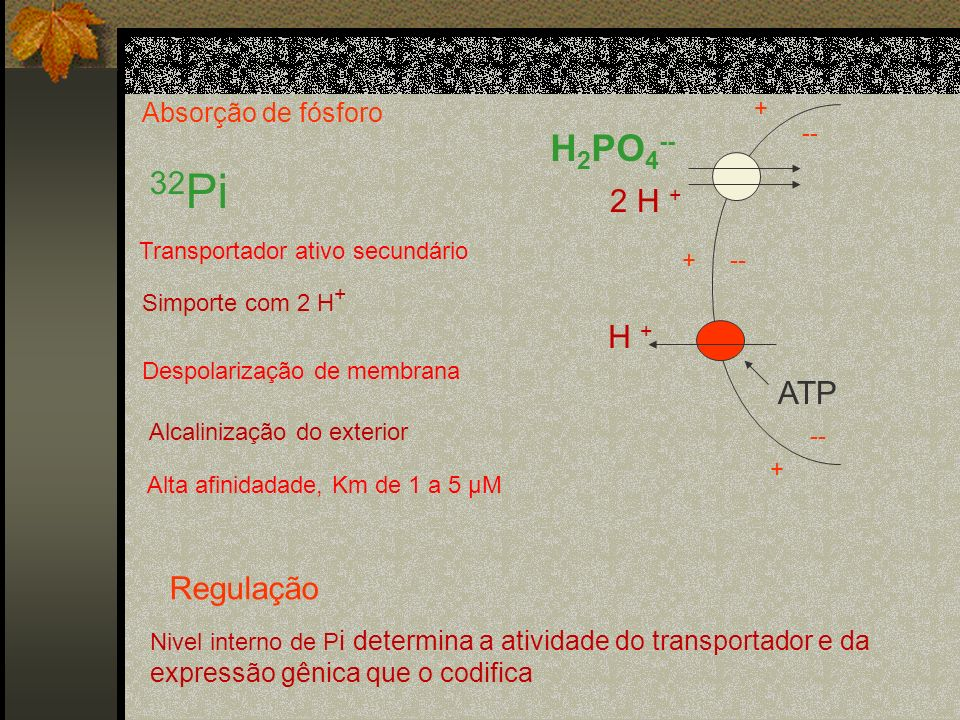 Absorção de fósforo 32 Pi H 2 PO 4 -- 2 H + ATP H + + -- + + Transportador ativo secundário Simporte com 2 H + Despolarização de membrana Alcalinizaçã