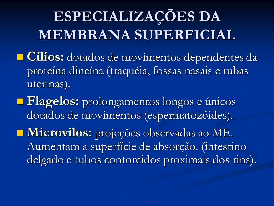 ESPECIALIZAÇÕES DA MEMBRANA SUPERFICIAL Cílios: dotados de movimentos dependentes da proteína dineína (traquéia, fossas nasais e tubas uterinas). Cíli