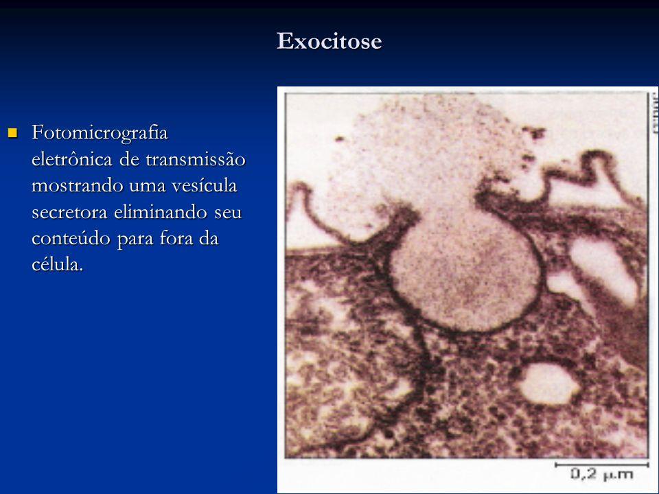 Exocitose Fotomicrografia eletrônica de transmissão mostrando uma vesícula secretora eliminando seu conteúdo para fora da célula. Fotomicrografia elet