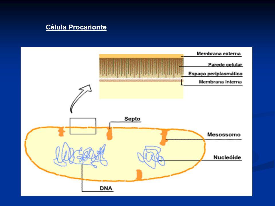 As bactérias classificam-se morfologicamente de acordo com a forma da célula e com o grau de agregação:célula Quanto a forma Coco : De forma esférica ou subesférica (do género Coccus)CocoCoccus BaciloBacilo : Em forma de bastonete (do género Bacillus)Bacillus VibriãoVibrião : Em forma de vírgula (do género Vibrio)vírgulaVibrio EspiriloEspirilo : de forma espiral/ondulada (do género Spirillum)espiral Spirillum EspiroquetaEspiroqueta : Em forma acentuada de espiral.espiral Quanto ao grau de agregação Apenas os Bacilos e os cocos formam colônias.colônias DiplococoDiplococo : De forma esférica ou subesférica e agrupadas aos pares (do género Diplococcus)Diplococcus EstreptococosEstreptococos : formam cadeia semelhante a um colar EstafilococosEstafilococos : Uma forma desorganizada de agrupamento,formando cachos SarcinaSarcina : De forma cúbica, formado por 4 ou 8 cocos simetricamente postos.