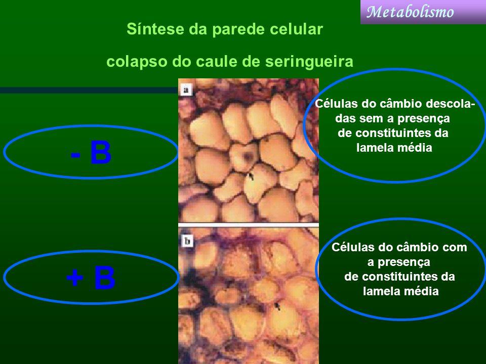 colapso do caule de seringueira - B Células do câmbio descola- das sem a presença de constituintes da lamela média Células do câmbio com a presença de
