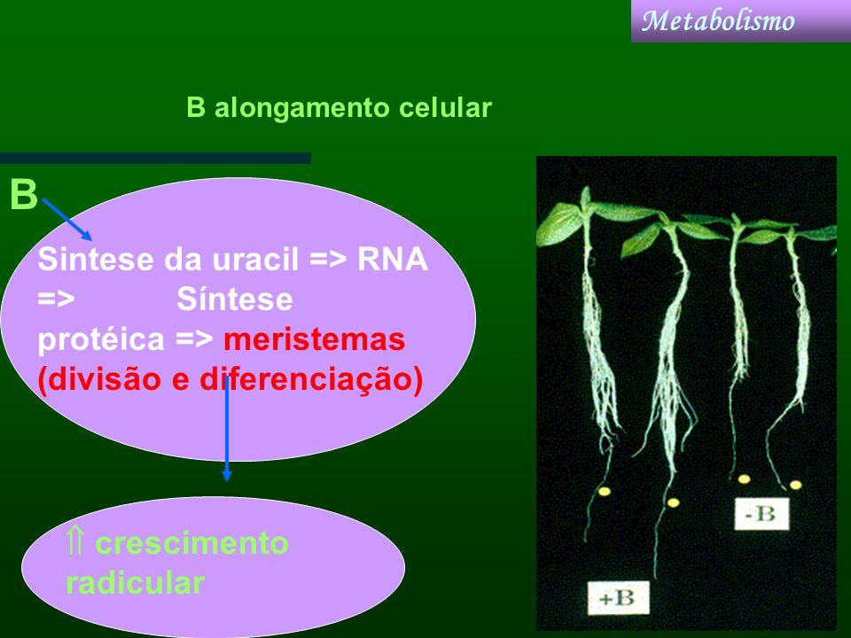 Metabolismo Sintese da uracil => RNA => Síntese protéica => meristemas (divisão e diferenciação) crescimento radicular B B alongamento celular