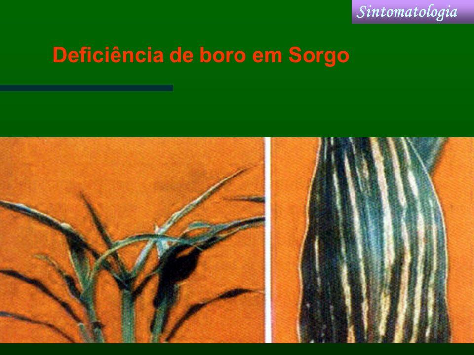 Deficiência de boro em Sorgo Sintomatologia