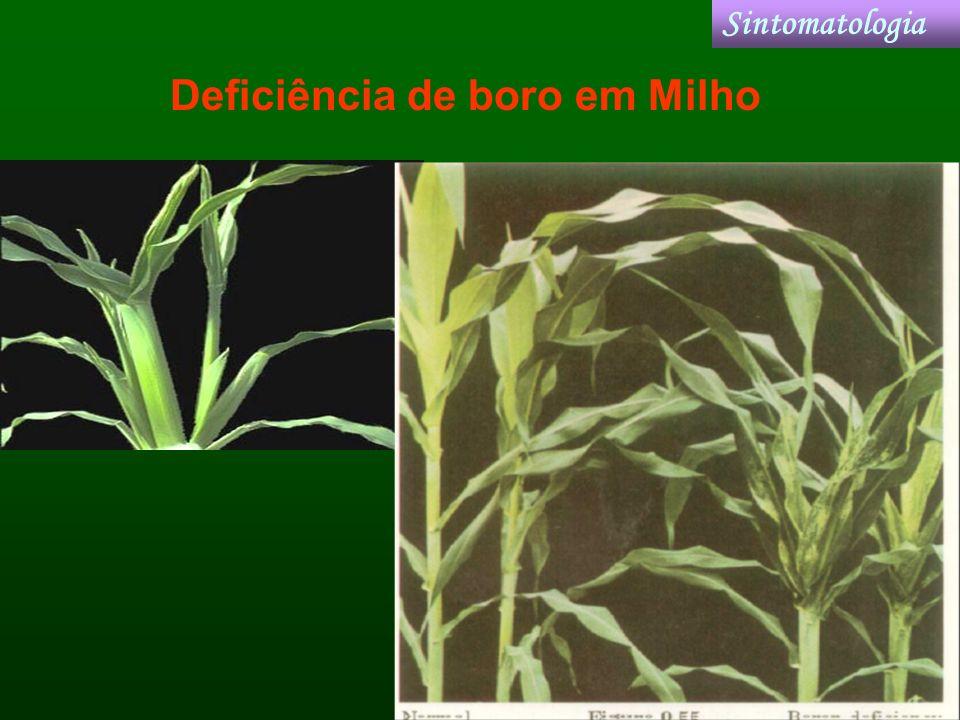 Deficiência de boro em Milho Sintomatologia