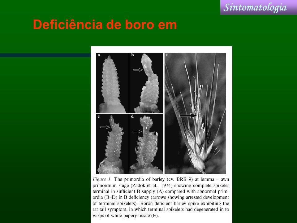 Deficiência de boro em Sintomatologia
