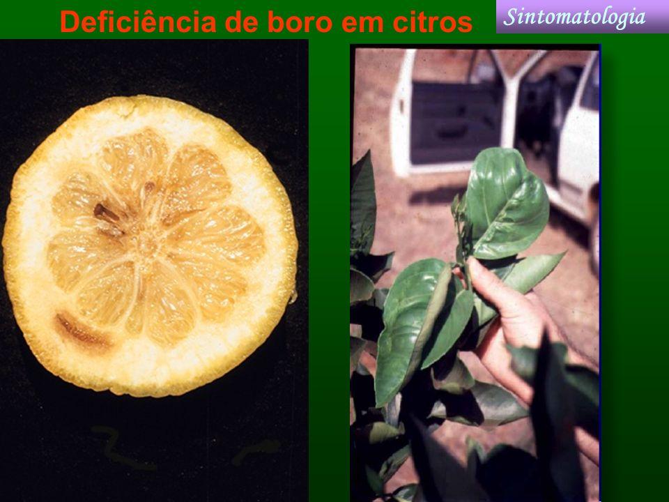 Deficiência de boro em citros Sintomatologia