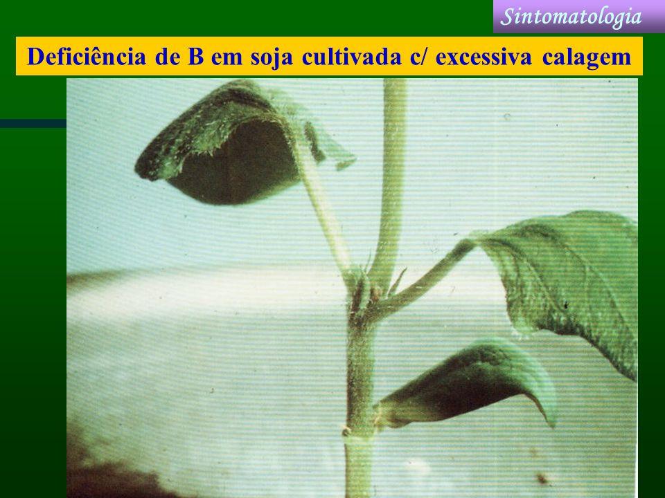 Deficiência de B em soja cultivada c/ excessiva calagem Sintomatologia