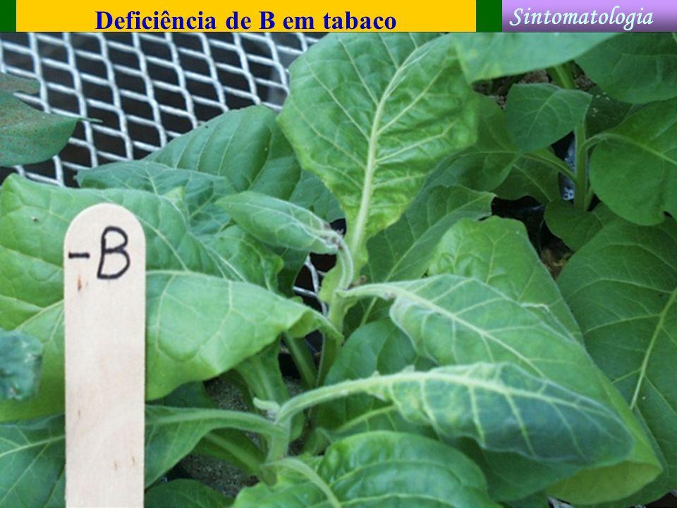 Deficiência de B em tabaco Sintomatologia