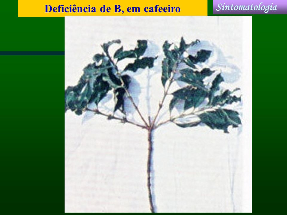 Deficiência de B, em cafeeiro Sintomatologia