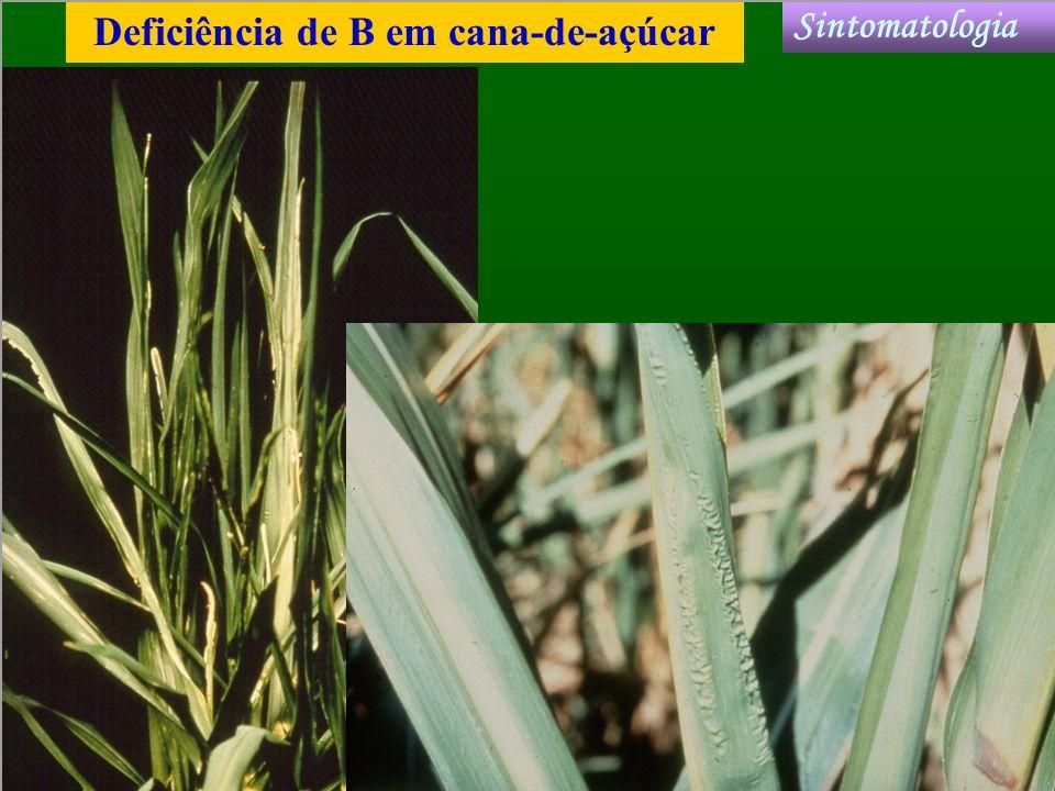 Deficiência de B em cana-de-açúcar Sintomatologia
