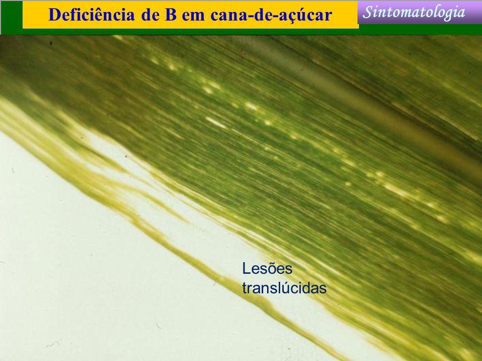 Deficiência de B em cana-de-açúcar Sintomatologia Lesões translúcidas