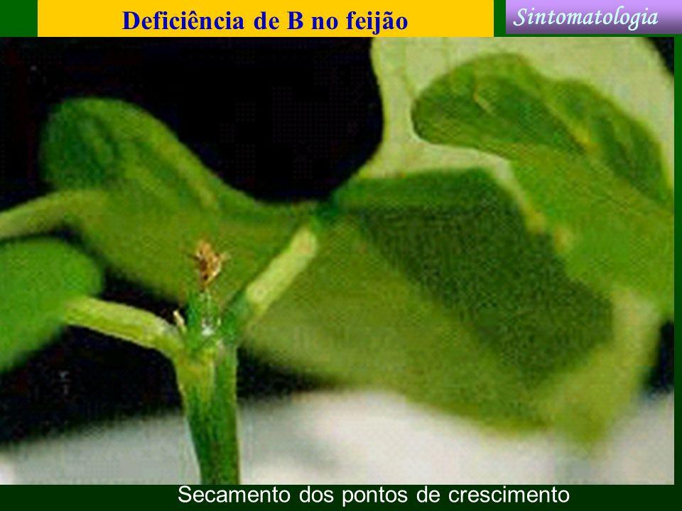 Deficiência de B no feijão Sintomatologia Secamento dos pontos de crescimento