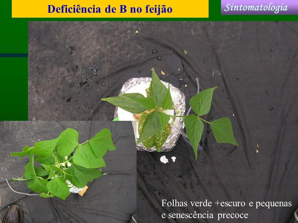 Deficiência de B no feijão Sintomatologia Folhas verde +escuro e pequenas e senescência precoce