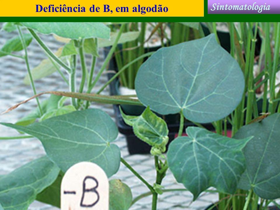 Deficiência de B, em algodão Sintomatologia