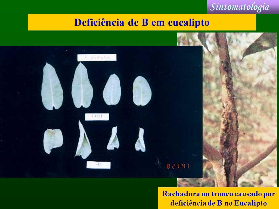 Rachadura no tronco causado por deficiência de B no Eucalipto Deficiência de B em eucalipto Sintomatologia