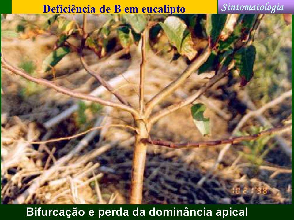 Deficiência de B em eucalipto Bifurcação e perda da dominância apical Sintomatologia