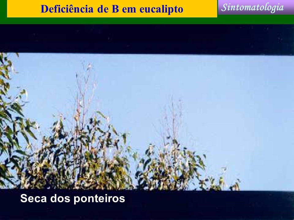 Deficiência de B em eucalipto Sintomatologia Seca dos ponteiros
