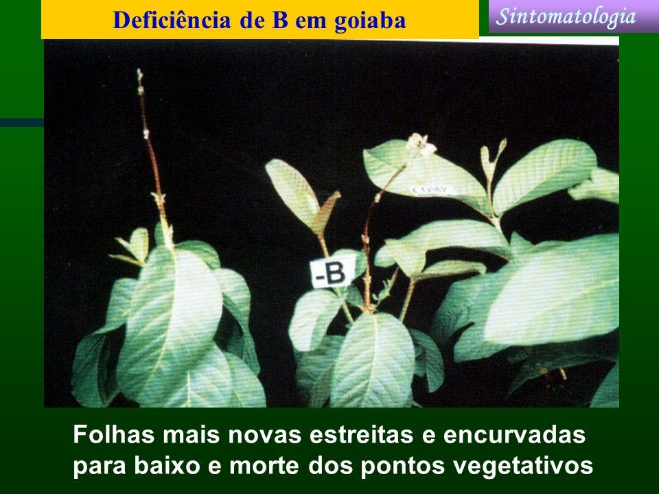 Folhas mais novas estreitas e encurvadas para baixo e morte dos pontos vegetativos Deficiência de B em goiaba Sintomatologia