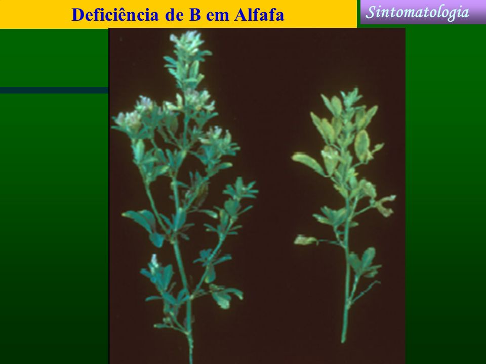 Deficiência de B em Alfafa Sintomatologia