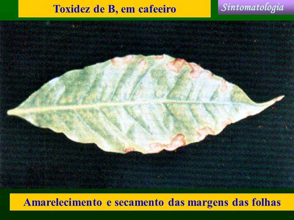 Toxidez de B, em cafeeiro Amarelecimento e secamento das margens das folhas Sintomatologia