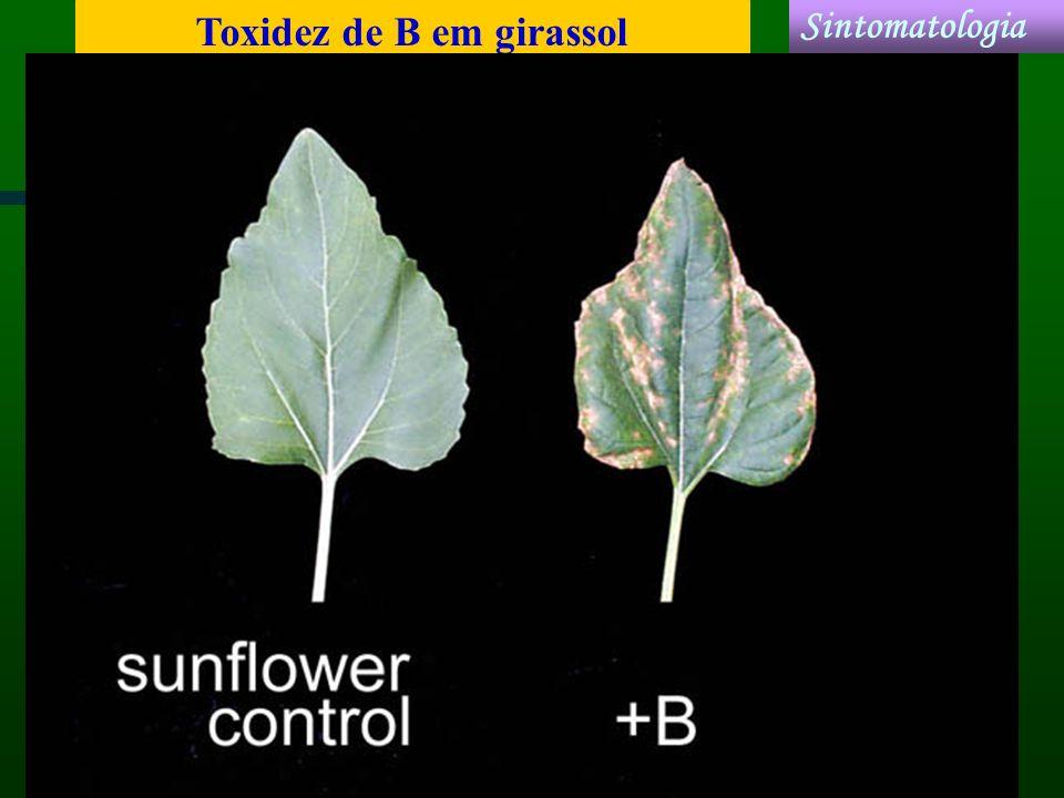 Toxidez de B em girassol Sintomatologia