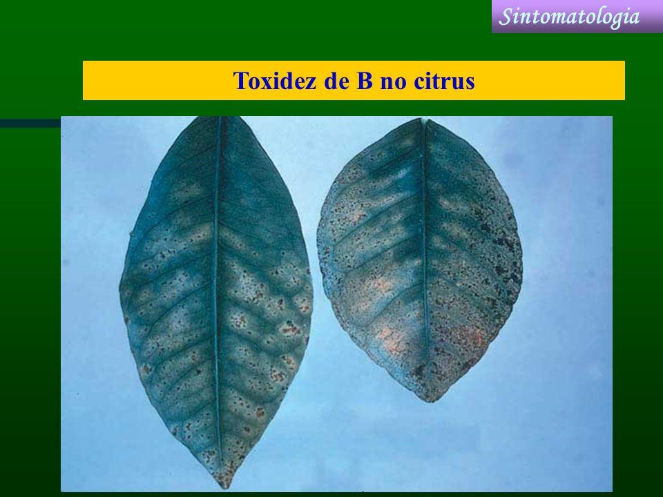 Toxidez de B no citrus Sintomatologia