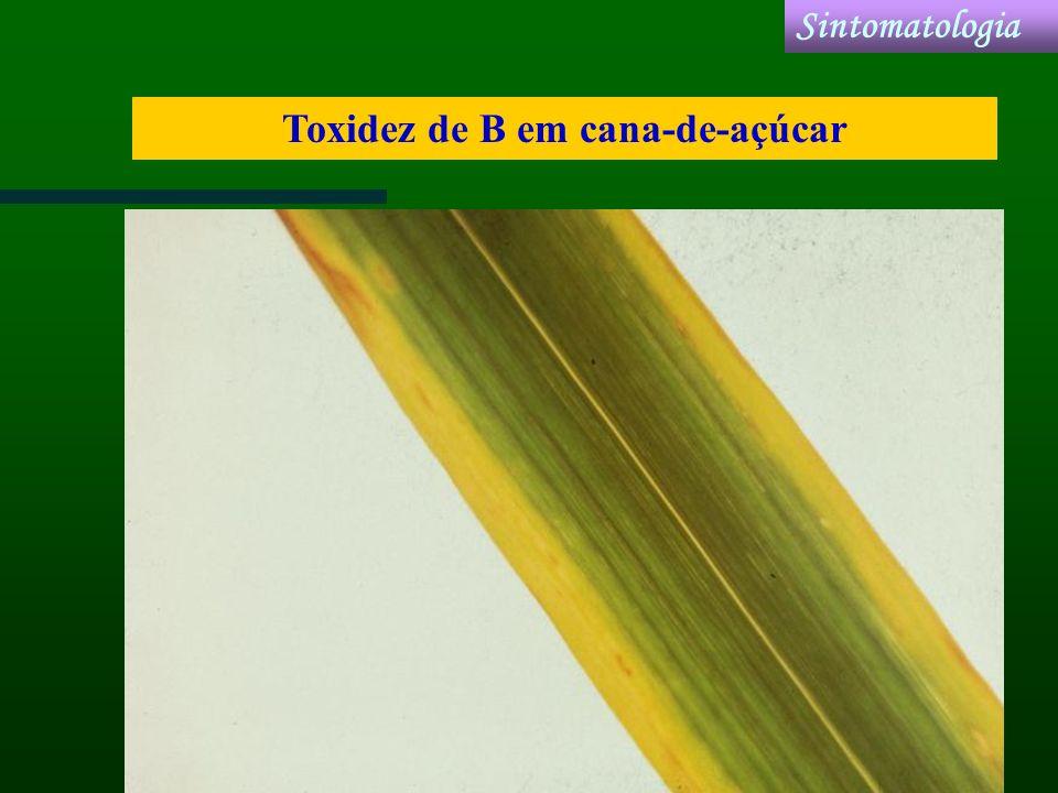 Toxidez de B em cana-de-açúcar Sintomatologia