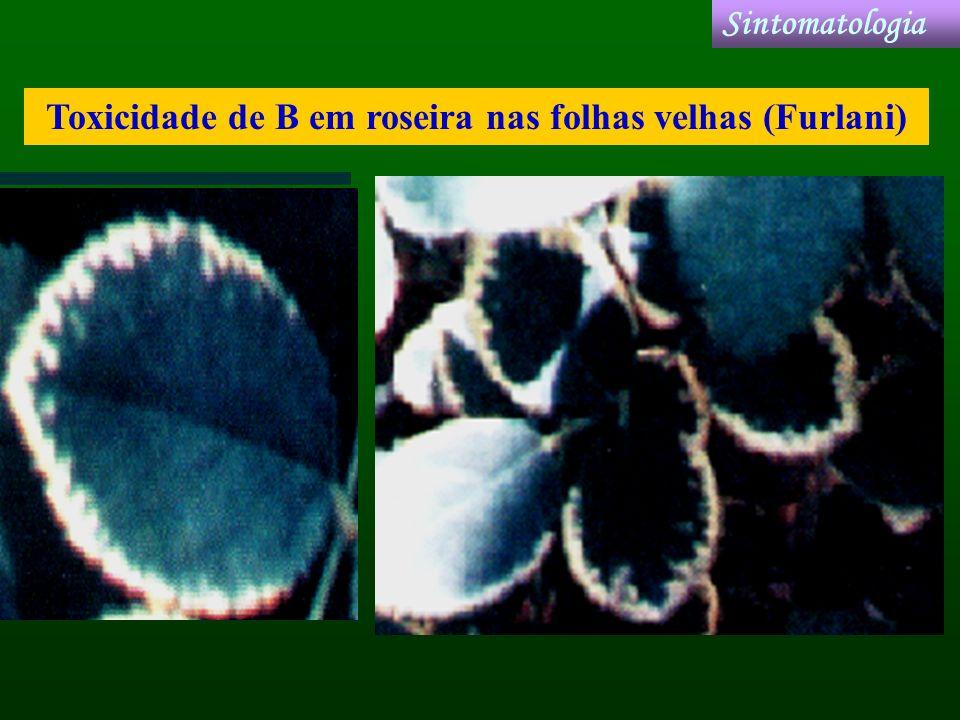 Toxicidade de B em roseira nas folhas velhas (Furlani) Sintomatologia