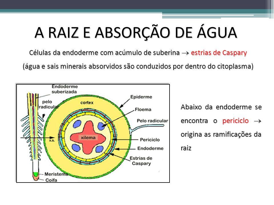 A RAIZ E ABSORÇÃO DE ÁGUA Células da endoderme com acúmulo de suberina estrias de Caspary (água e sais minerais absorvidos são conduzidos por dentro d
