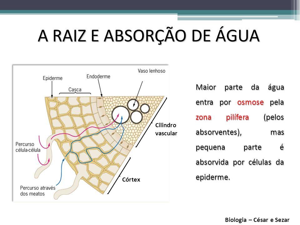 A RAIZ E ABSORÇÃO DE ÁGUA Biologia – César e Sezar Córtex Cilindro vascular Maior parte da água entra por osmose pela zona pilífera (pelos absorventes