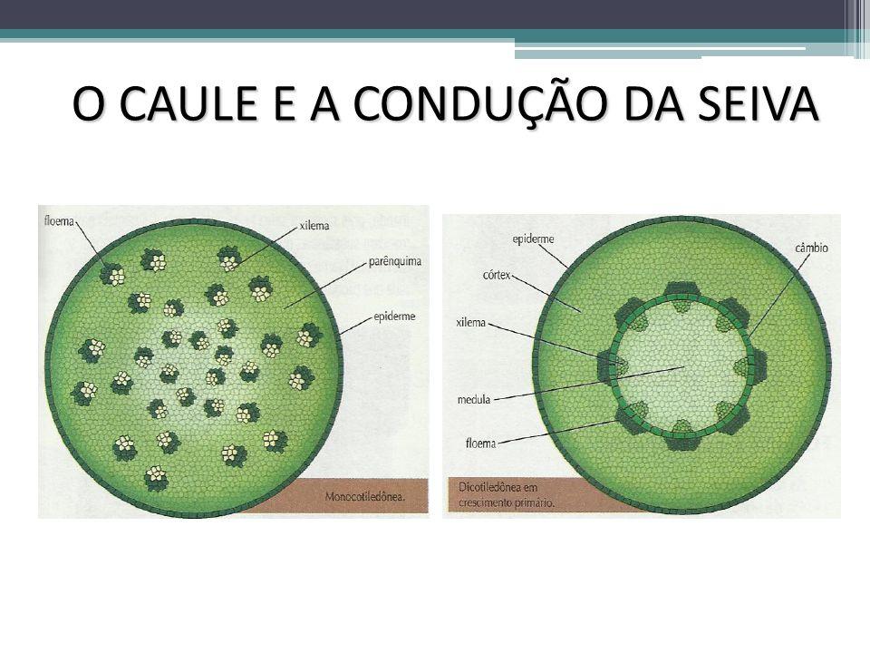 CONDUÇÃO SEIVA BRUTA Mas como a seiva bruta consegue atingir as partes mais altas da planta.