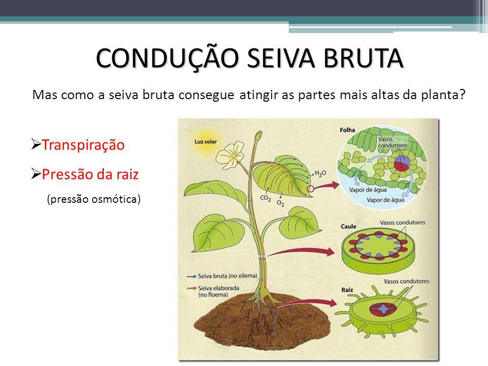 CONDUÇÃO SEIVA BRUTA Mas como a seiva bruta consegue atingir as partes mais altas da planta? Transpiração Pressão da raiz (pressão osmótica)