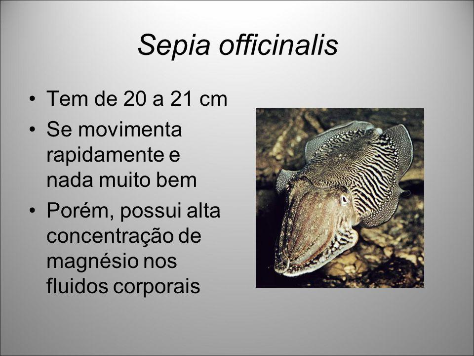 Sepia officinalis Tem de 20 a 21 cm Se movimenta rapidamente e nada muito bem Porém, possui alta concentração de magnésio nos fluidos corporais