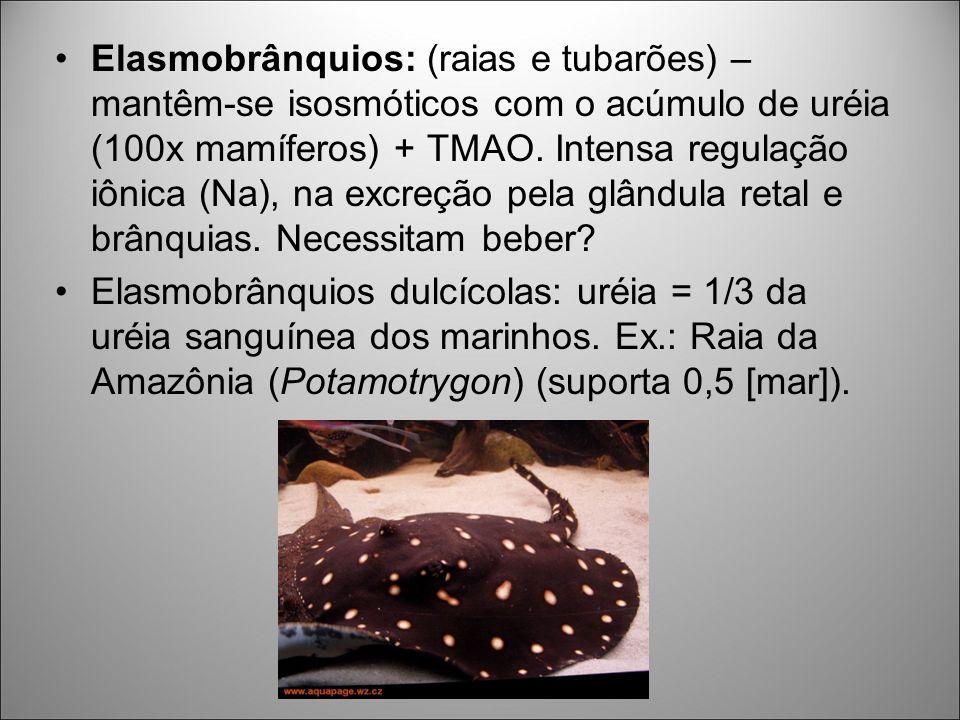 Elasmobrânquios: (raias e tubarões) – mantêm-se isosmóticos com o acúmulo de uréia (100x mamíferos) + TMAO. Intensa regulação iônica (Na), na excreção